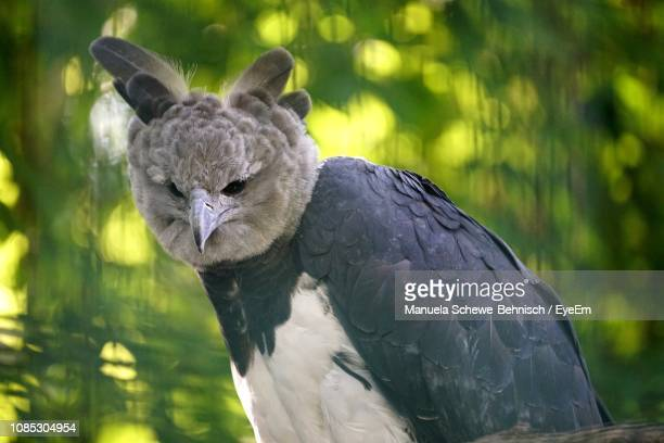 close-up of harpy eagle - harpij arend stockfoto's en -beelden