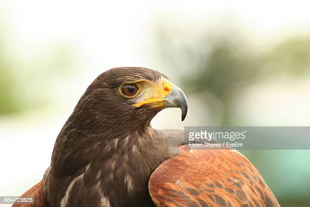 close-up of harris hawk - harris hawk stock photos and pictures