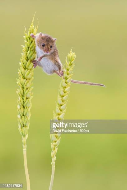 close-up of harvest mouse - images stock pictures, royalty-free photos & images