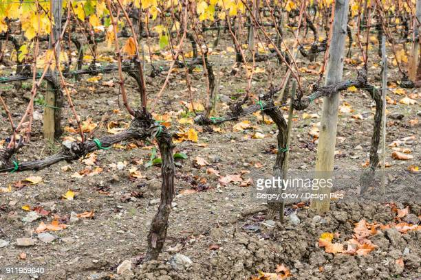Close-Up Of Harvested And Bare Tuscany Grapevine Rows At Ciacci Piccolomini Daragona