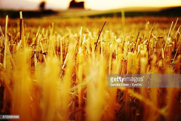 Close-Up Of Harvested Field
