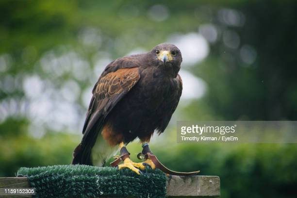 close-up of hawk flying at park - harris hawk stock photos and pictures