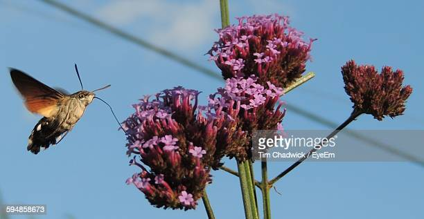 Close-Up Of Hawk Moth Pollinating On Fresh Pink Flower Against Sky