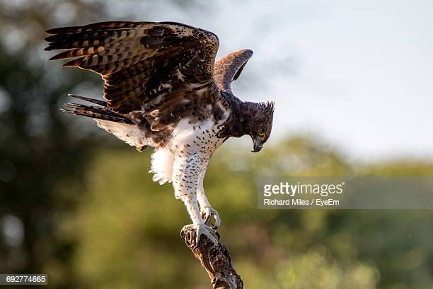 Close-Up Of Hawk On Branch