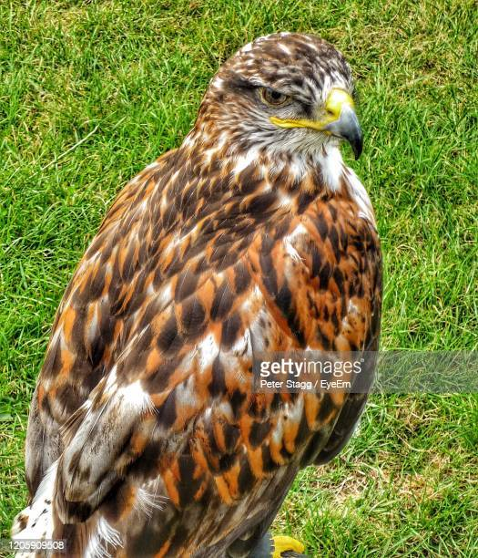 close-up of hawk on field - eagles london stock pictures, royalty-free photos & images
