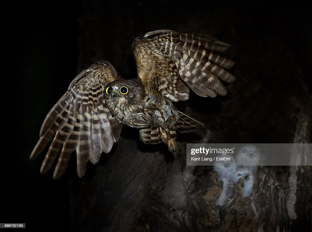 Close-Up Of Hawk Owl Leaving Chicks In Nest : Stock Photo