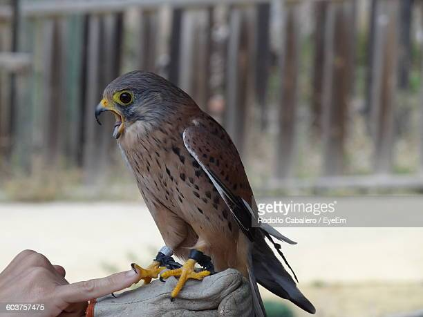 Close-Up Of Hawk Perching On Hand