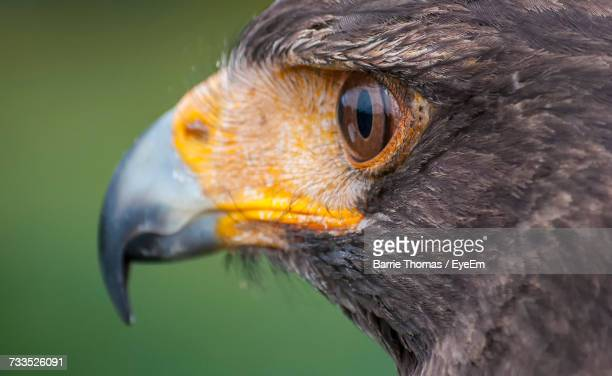 close-up of hawk - hawk stock photos and pictures
