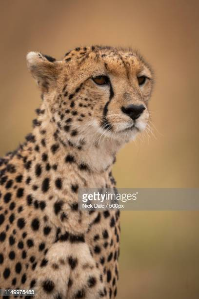 Close-Up Of Head And Shoulders Of Cheetah