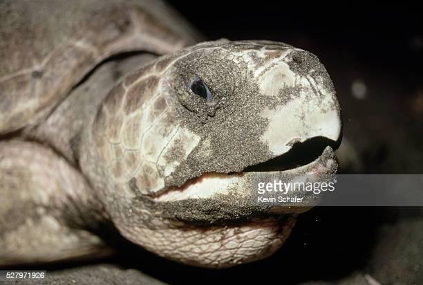 close-up of head on olive ridley turtle - parque nacional de santa rosa fotografías e imágenes de stock