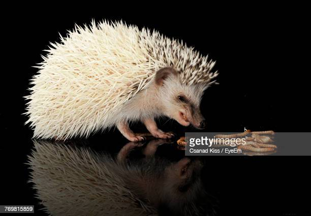 close-up of hedgehog eating mealworm against black background - mealworm stock photos and pictures