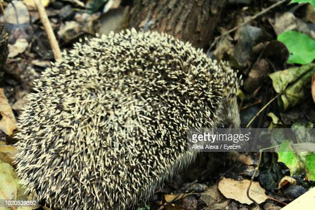 Close-Up Of Hedgehog On Field