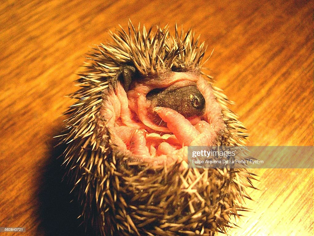 Close-Up Of Hedgehog Rolled Up : Stock Photo