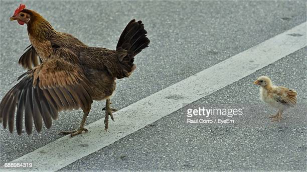 close-up of hen and chicken crossing street - spread wings stock pictures, royalty-free photos & images