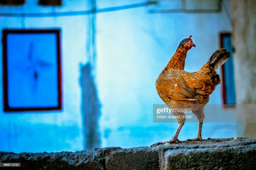 Close-up of hen : Stock Photo