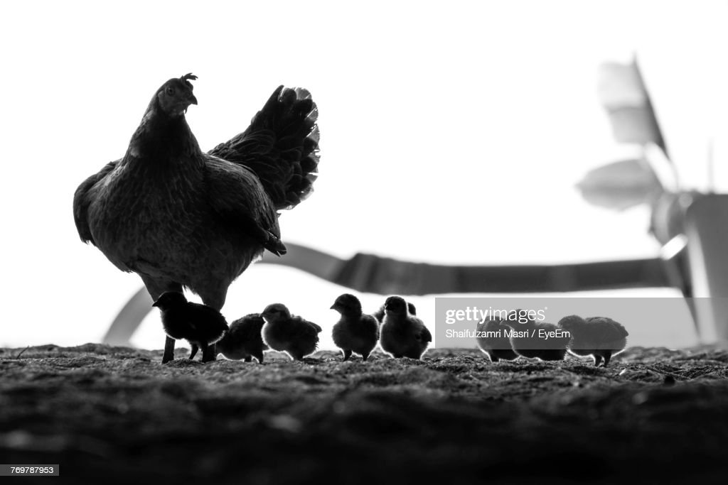 Close-Up Of Hen With Baby Chickens On Field : Stock Photo