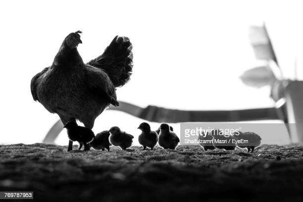 Close-Up Of Hen With Baby Chickens On Field