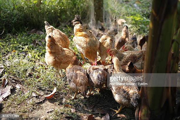 Close-Up Of Hens Against Plants