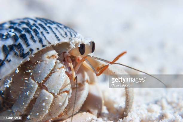 close-up of hermit crab on sandy beach - stock photo - hermit crab stock pictures, royalty-free photos & images