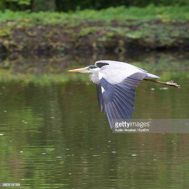 Close-Up Of Heron Flying Over Water