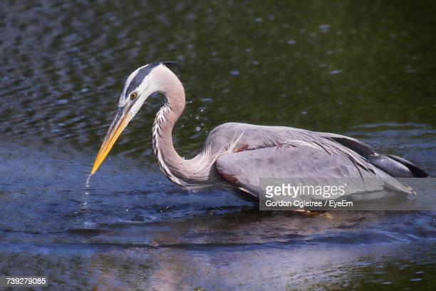 close-up of heron on lake - vertebrate stockfoto's en -beelden
