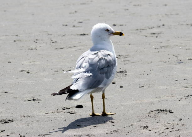 Close-up of herring gull perching on shore,Scarborough,Maine,United States,USA