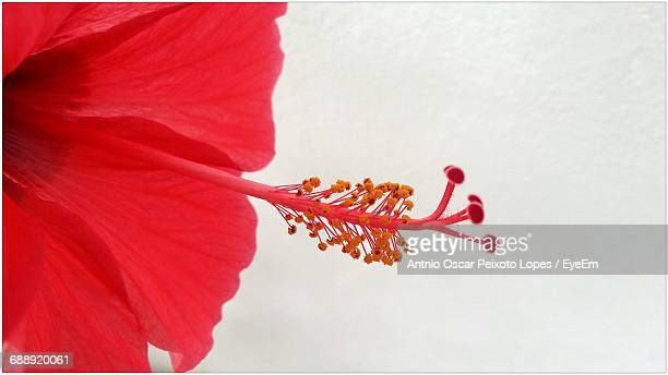 Close-Up Of Hibiscus Against Wall