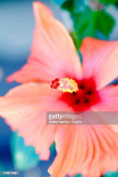 close-up of hibiscus blooming outdoors - asuka stock pictures, royalty-free photos & images