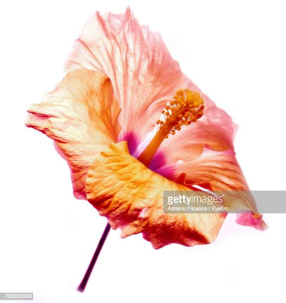 Close-Up Of Hibiscus Flower Against White Background