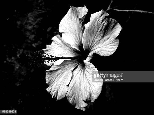 60 Top Black And White Hibiscus Pictures Photos Images Getty