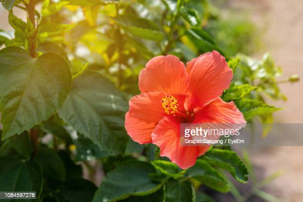 close-up of hibiscus on plant - hibiscus stock pictures, royalty-free photos & images