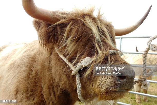 close-up of highland cattle against sky - lucinda lee stock photos and pictures