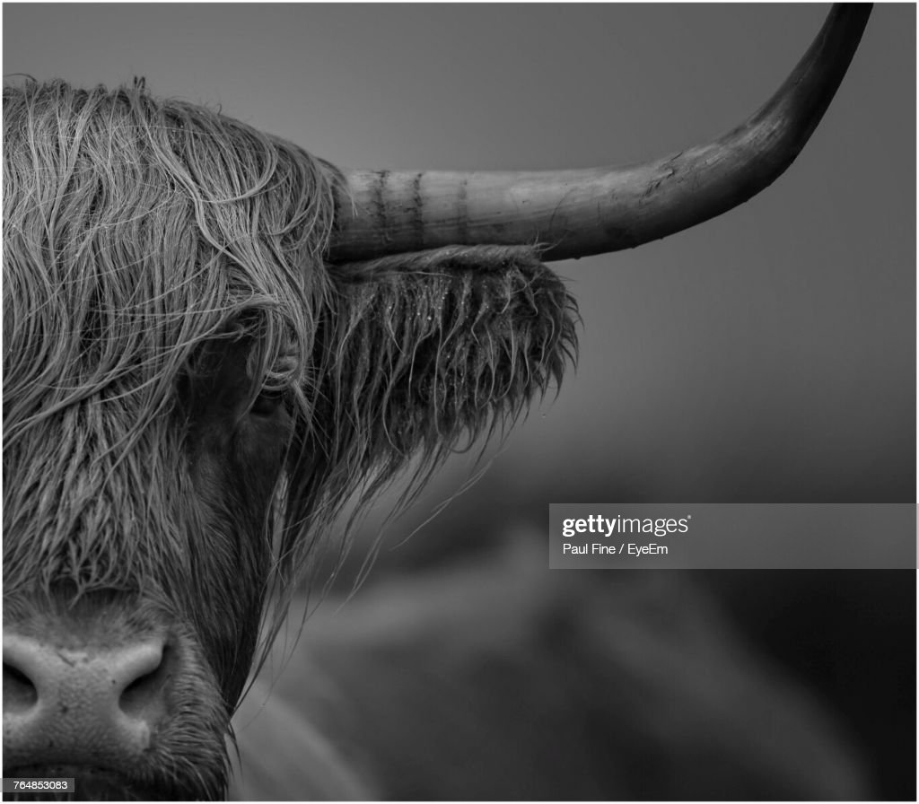 Close-Up Of Highland Cattle : Stock Photo