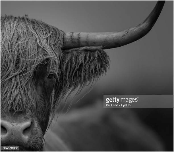 close-up of highland cattle - highland cattle stock photos and pictures