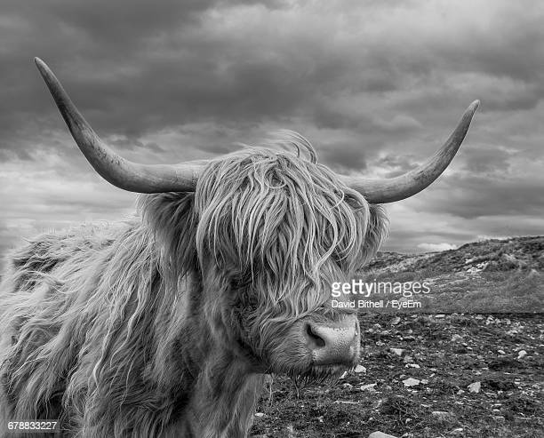 Close-Up Of Highland Cattle Standing On Field Against Cloudy Sky