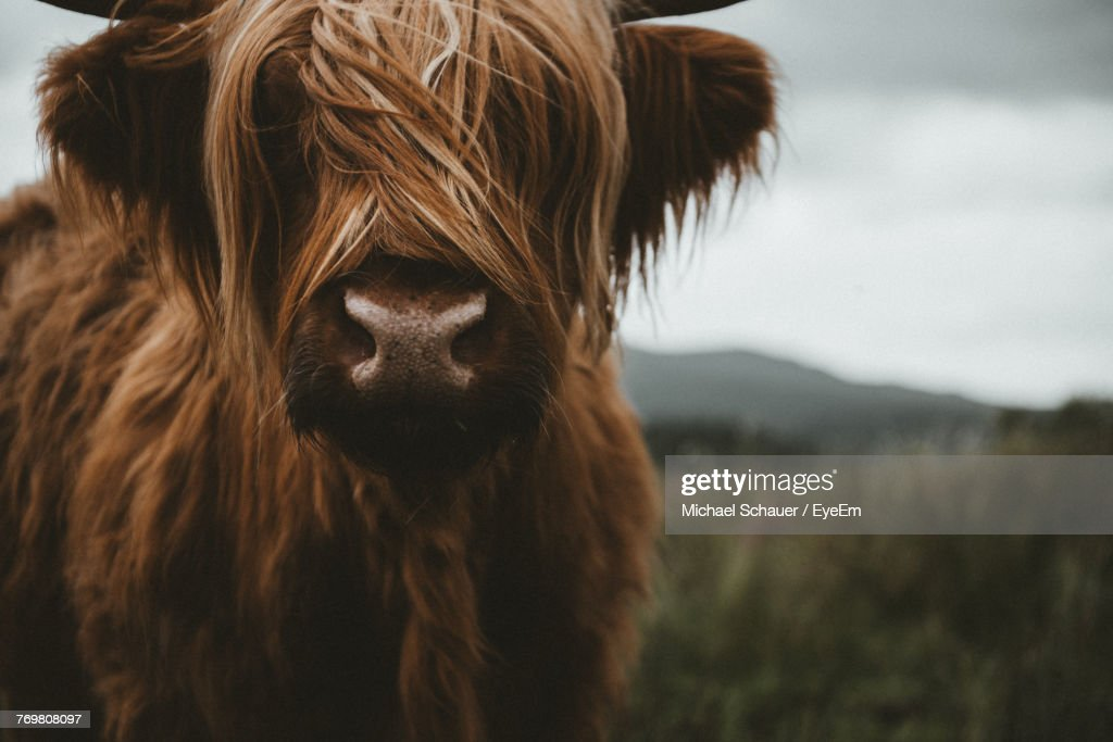 Close-Up Of Highland Cattle Standing On Field : Stock Photo