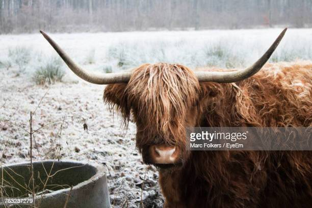 Close-Up Of Highland Cattle Standing On Snow