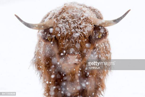 close-up of highland cattle with snow - highland cattle stock photos and pictures
