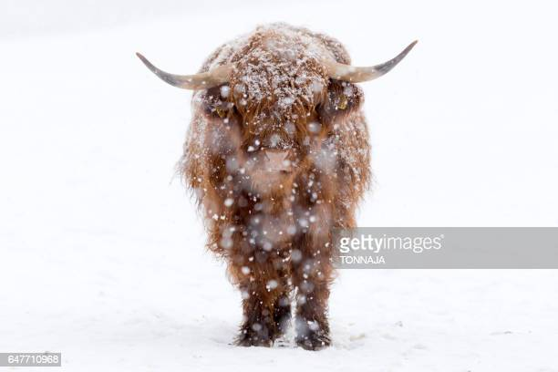 Close-Up Of Highland Cattle with snow