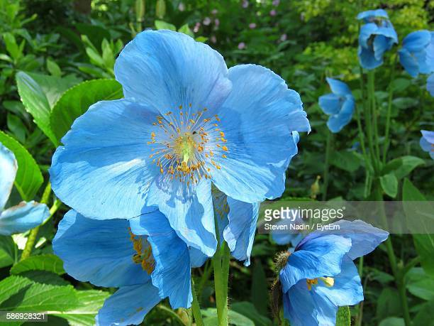 Close-Up Of Himalayan Blue Poppy Flowers Blooming Outdoors