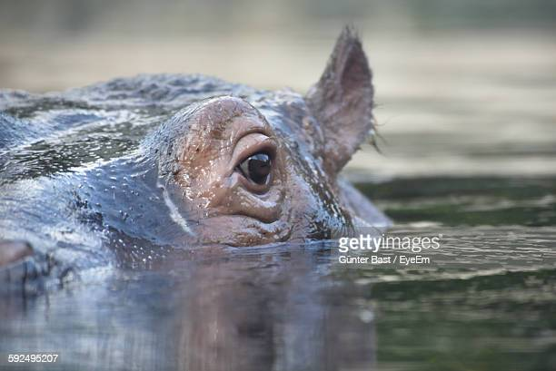 Close-Up Of Hippopotamus Swimming On Lake
