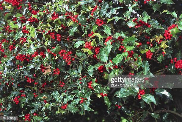 Closeup of holly leaves with berry