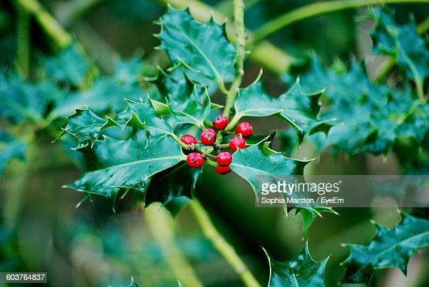 Close-Up Of Holly Plant
