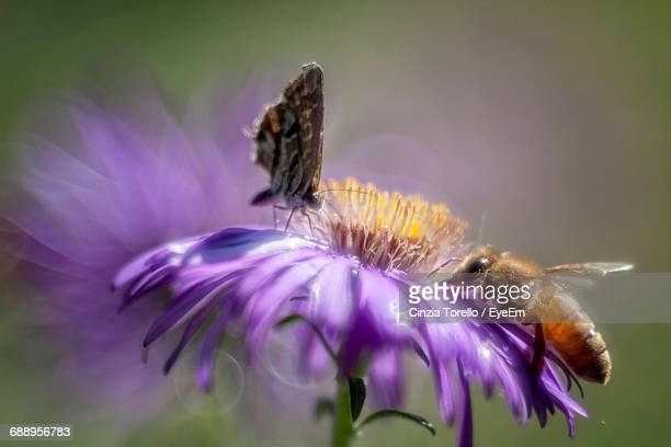Close-Up Of Honey Bee And Butterfly On Purple Flower