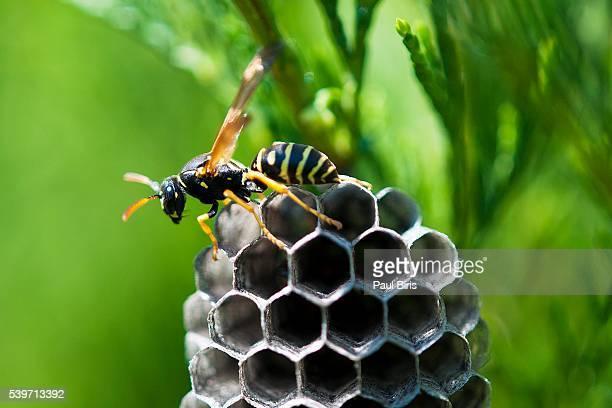 Close-Up Of Honey Bee Comb, Transylvania, Romania
