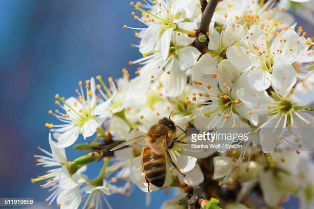 Close-up of honey bee on apple blossoms