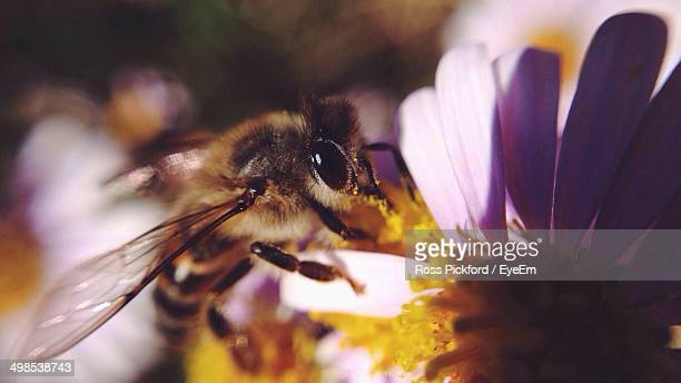 close-up of honey bee on flower - honey ross stock pictures, royalty-free photos & images