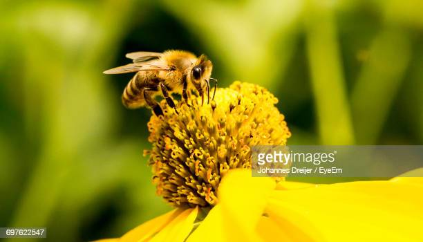 close-up of honey bee on flower - impollinazione foto e immagini stock