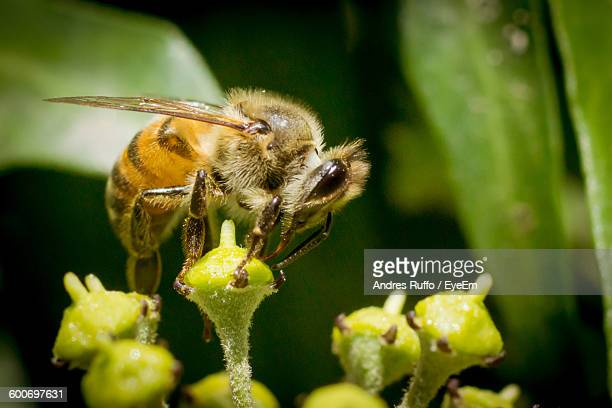close-up of honey bee on flower pollen - andres ruffo stock pictures, royalty-free photos & images