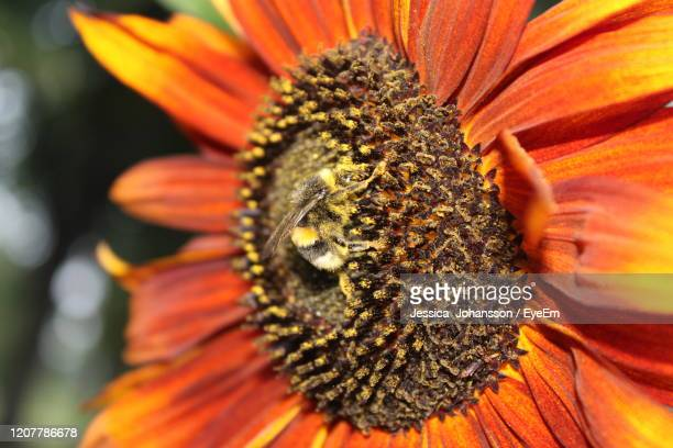 close-up of honey bee on orange flower - vaxjo stock pictures, royalty-free photos & images